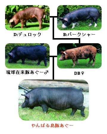やんばる島豚あぐーの血統